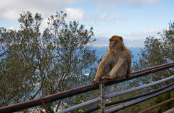 Gibraltar, points of interest in the British overseas area on the southern spit of the Iberian Peninsula,. Gibraltar, monkey rock, a Berber monkey sits on a stock images