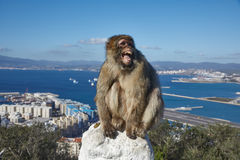 Gibraltar, points of interest in the British overseas area on the southern spit of the Iberian Peninsula,. Gibraltar, monkey rock, a Berber monkey sits royalty free stock images