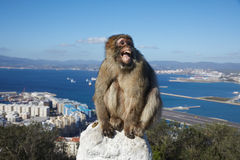 Gibraltar, points of interest in the British overseas area on the southern spit of the Iberian Peninsula,. Gibraltar, monkey rock, a Berber monkey sits stock image