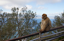 Gibraltar, points of interest in the British overseas area on the southern spit of the Iberian Peninsula,. Gibraltar, monkey rock, a Berber monkey sits on a stock photography