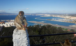 Gibraltar, points of interest in the British overseas area on the southern spit of the Iberian Peninsula,. Gibraltar, monkey rock, a berber monkey sitting on a stock image