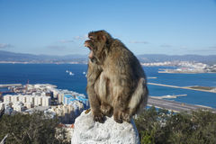 Gibraltar, points of interest in the British overseas area on the southern spit of the Iberian Peninsula,. Gibraltar, monkey rock, a Berber monkey sits royalty free stock photos