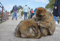 Gibraltar, points of interest in the British overseas area on the southern spit of the Iberian Peninsula,. Gibraltar, monkey rock, berber monkeys sit between the stock images