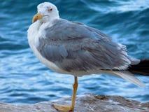 Gibraltar-seagull Fotografering för Bildbyråer