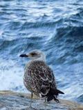 Gibraltar-seagull Royaltyfria Bilder