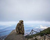 Gibraltarian apa Fotografering för Bildbyråer