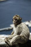 Gibraltars junger Affe Stockbilder