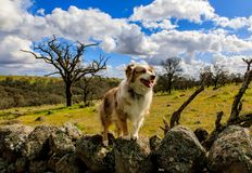 Gibson Australian Shepherd posing on a stone wall. royalty free stock images