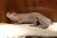 Gidgee Skink (Egernia stokesii) - Lizard Stock Photos