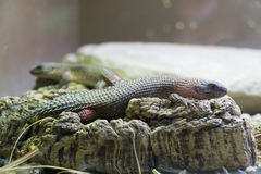 Gidgee skink Stock Photo