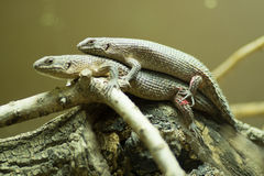Gidgee skink Stock Photography