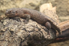 Gidgee skink Stock Photos