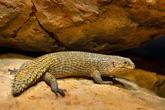 Gidgee spiny-tailed skink, Egernia stokesii, endemic to Australia. Fat lizard in the rock habitat, reptile from nature. Skink with. Long tail on the stone stock image