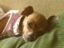 Κουρασμένο Gidgette στοκ εικόνες