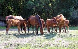 gidran马牧群吃在一匹农村马的新鲜的被割的草种田 免版税库存图片