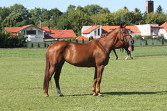 Gidran horse Stock Photography