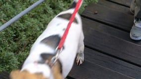 Gids-hond die zijn eigenaar helpen om de treden te beklimmen, mannetje die met zijn huisdier lopen stock footage