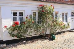 Gießkanne und blühende rote Rosen im Sommer stockfotografie