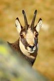 Giemza, Rupicapra rupicapra, szczegółu portret z rogami, rockowy zwierzę chujący w kamieniu, żółty trawy wzgórze w tle, Gr zdjęcie stock