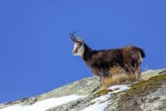 Giemza & x28; Rupicapra rupicapra& x29; w Alps zdjęcie stock