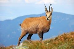 Giemza w naturze - Rupicapra, Tatras, Sistani obrazy royalty free