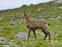 Giemza w Pirin parku narodowym blisko Vihren fotografia stock