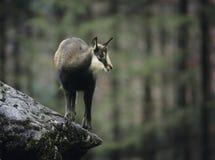 Giemzowy równoważenie na skale w lesie Obrazy Royalty Free