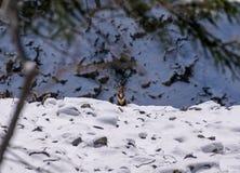 Giemzy spojrzenia z swój kryjówki w kamerze Zdjęcie Royalty Free