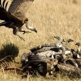 Gier in Masai mara Kenia royalty-vrije stock foto's