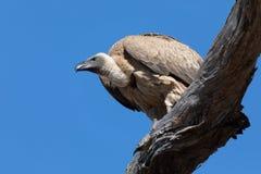 Gier met witte rug op boom, Botswana stock foto's