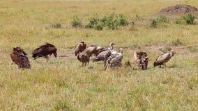 Gieren die een meest wildebeest karkas eten stock video