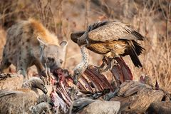 Gieren en Hyena Stock Foto