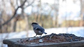 Gieriger weiblicher Dompfaff, der kleine Vögel von den Zufuhren jagt stock video footage