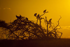 Giersilhouet, Zuid-Afrika royalty-vrije stock foto