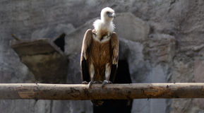 Giervogel Royalty-vrije Stock Afbeelding