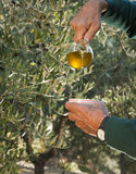Gietende olijfolie Stock Foto