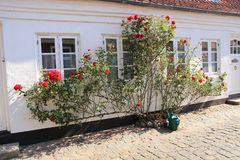 Gieter en bloeiende rode rozen in de zomer stock fotografie