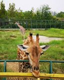 The Giraffes in the Zoo royalty free stock photo