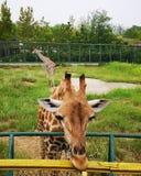 Gifaffesen i zoo royaltyfri foto