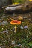 Gifstof en hallucinogen muscaria van de paddestoelamaniet royalty-vrije stock foto's