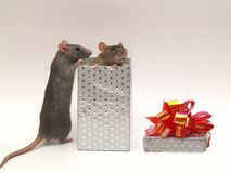 Gift. Very clever beautiful nice domestic rats Royalty Free Stock Photography
