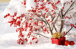 Gift Box and Christmas Balls under Holly Berries bush Covered wi. Th Snow. Outside. Winter Sunny Day Royalty Free Stock Photography