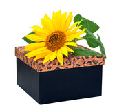 Gift box with flower sunflower Royalty Free Stock Photos