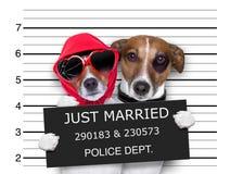 Gift hundkapplöpning för Mugshot precis arkivfoton