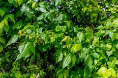 Gift Ivy Vines Mixed med kaprifolen Arkivbilder