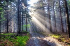 Gift of light - God beams. Image of the coniferous forest early in the morning - early morning fog - God beams stock photography