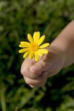 Gift for mummy. Little hand holding yellow flower Royalty Free Stock Photography