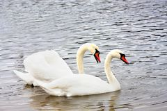 Gift par av vita svanar royaltyfri foto