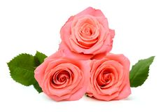 A gift roses Stock Images