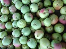 Gift of summer. Fruit pear tree,summer harvest,a gift of nature Stock Photos
